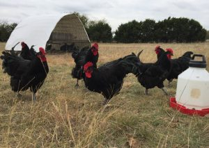 Black Australorp Roosters