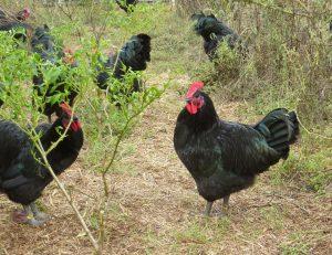 black australorp males