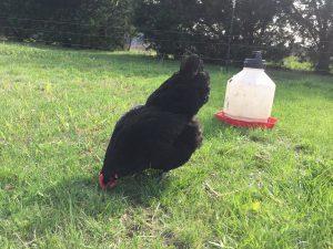 black australorp hen
