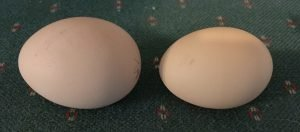 Choose average size eggs for hatching