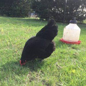 Black Australorp Hen eating grass